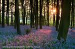 Bluebell Sunset