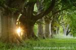 Through the Beech Trees