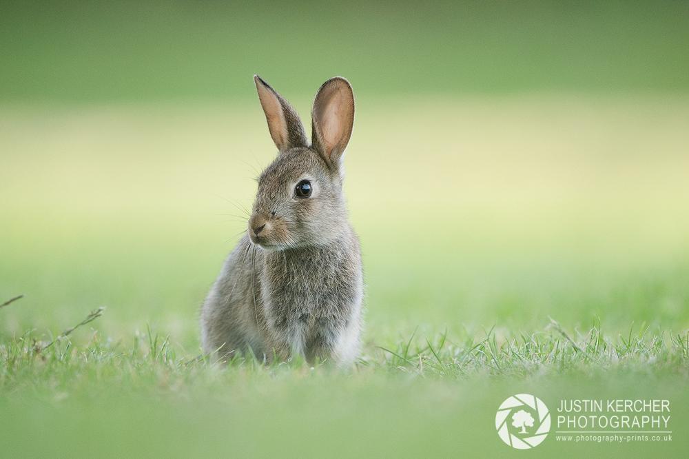 New Forest Rabbit by Neutron2K