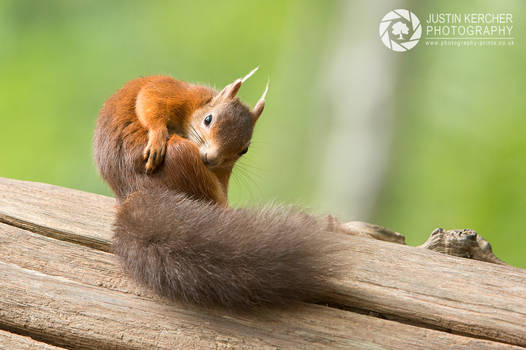 Red Squirel Itching