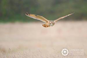 Wild Short Eared Owl Hunting by Neutron2K