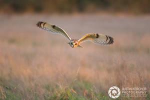 Wild Short Eared Owl  in Golden Light by Neutron2K