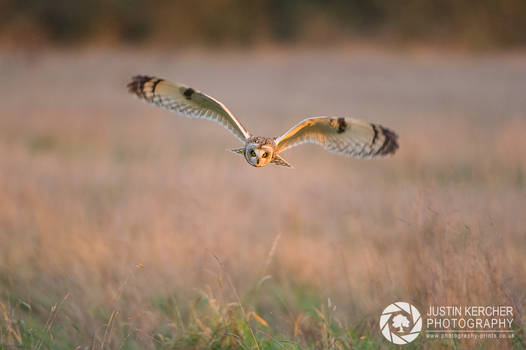 Wild Short Eared Owl  in Golden Light