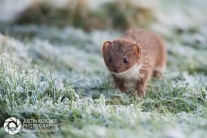 Frozen Weasel by Neutron2K
