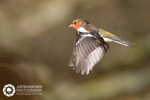 Chaffinch in Flight.