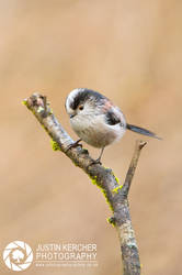 Long Tailed Tit by Neutron2K