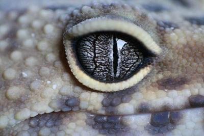 Gecko  Gecko by commandokittyy