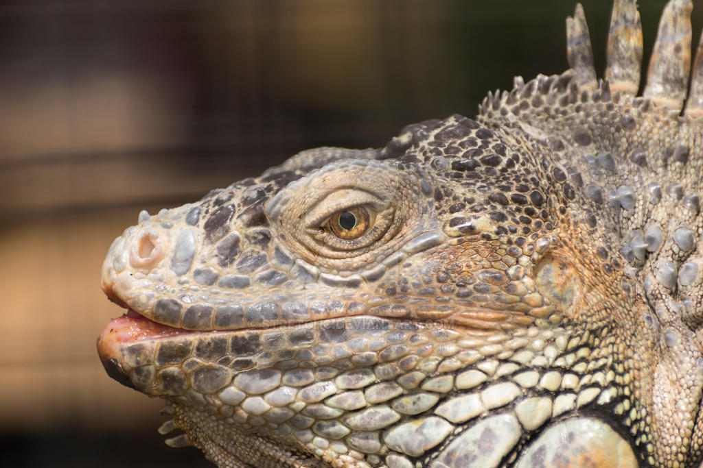 Closeup of Green Iguana head with yellow eye by stretchc