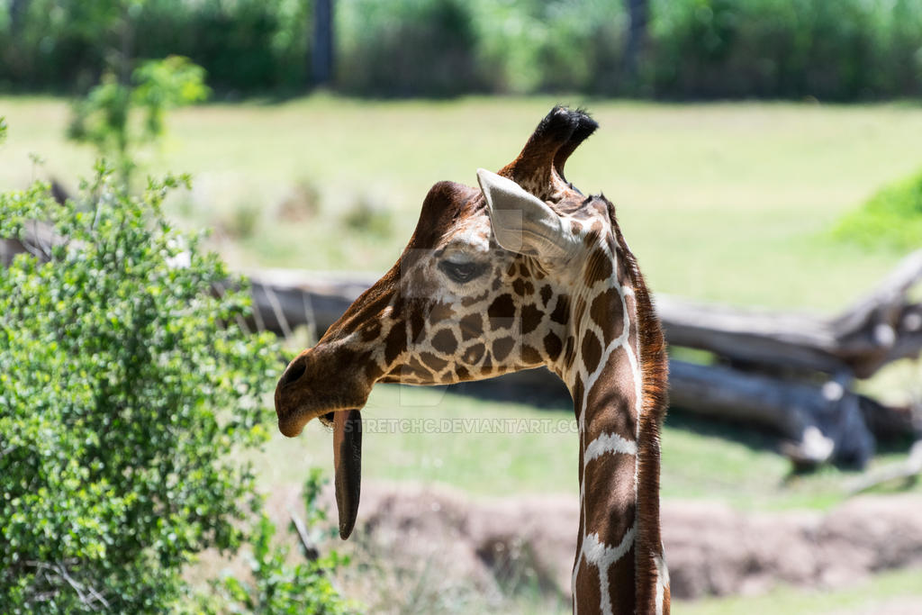Closeup of a goofy looking Giraffe by stretchc