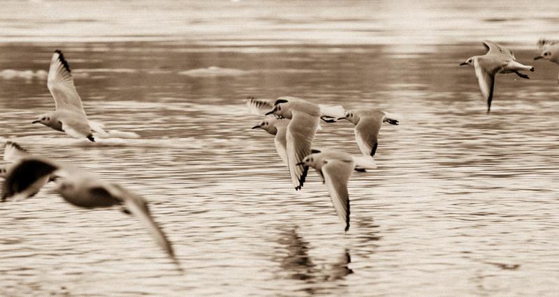 Gull race