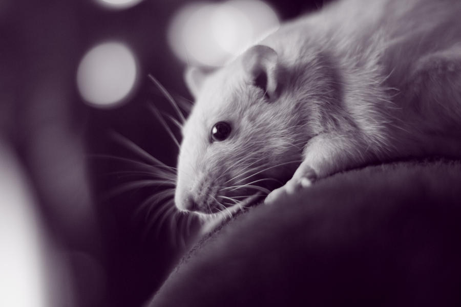 White rat with black eyes - photo#20
