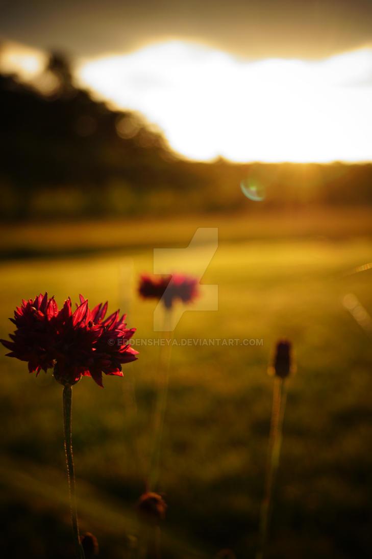 Sunset in my Garden by eddensheya