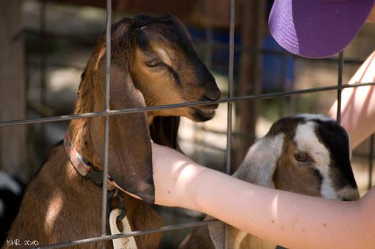 Nubian Goat at Sunrock Farm