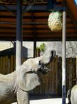 Elephant Feeding Time 13