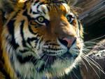 A Tiger's Eyes 1