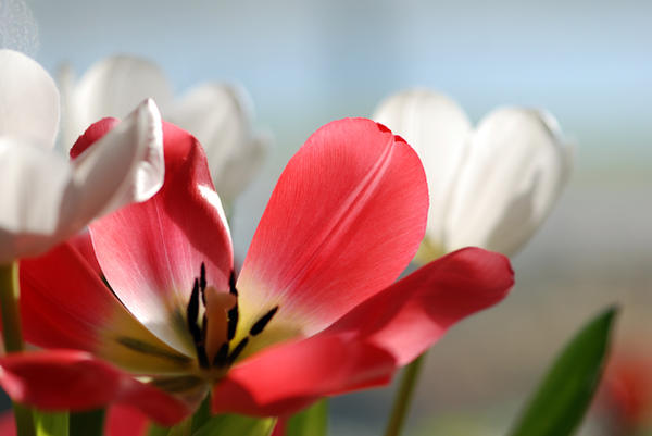Tulips by Rampestamper