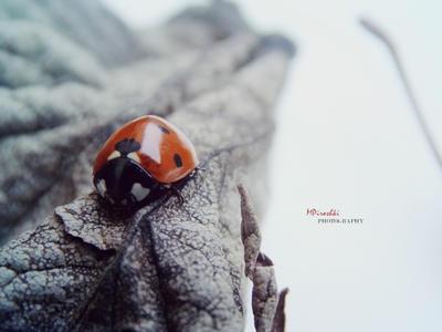 Ladybug No.3 by Piroshki-Photography