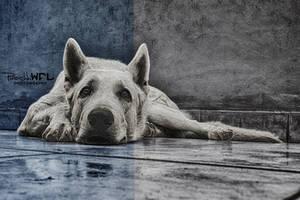 White swiss shepherd by Piroshki-Photography