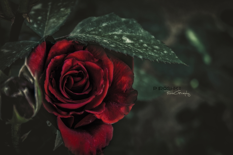 Rose by Piroshki-Photography