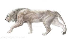 lion anatomy 1