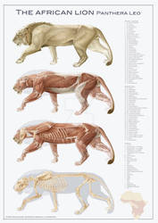 lion anatomy by DirkTraufelder