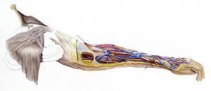 arm anatomy watercolor