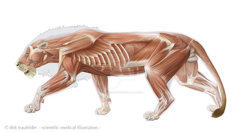 Lion Anatomy 3 By Dirktraufelder On Deviantart