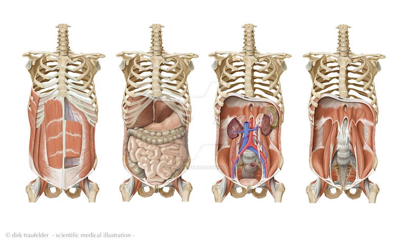 human trunk anatomy by DirkTraufelder on DeviantArt