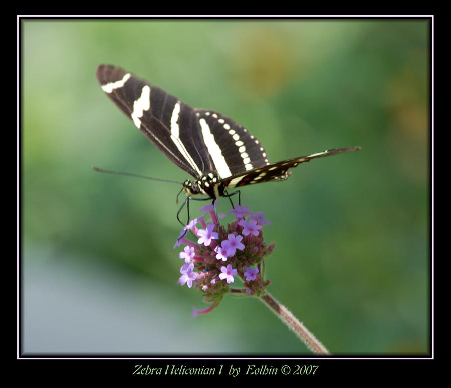 Zebra Heliconian I 2127 by Eolhin
