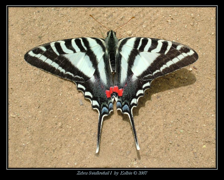 Zebra Swallowtail I 9875 by Eolhin