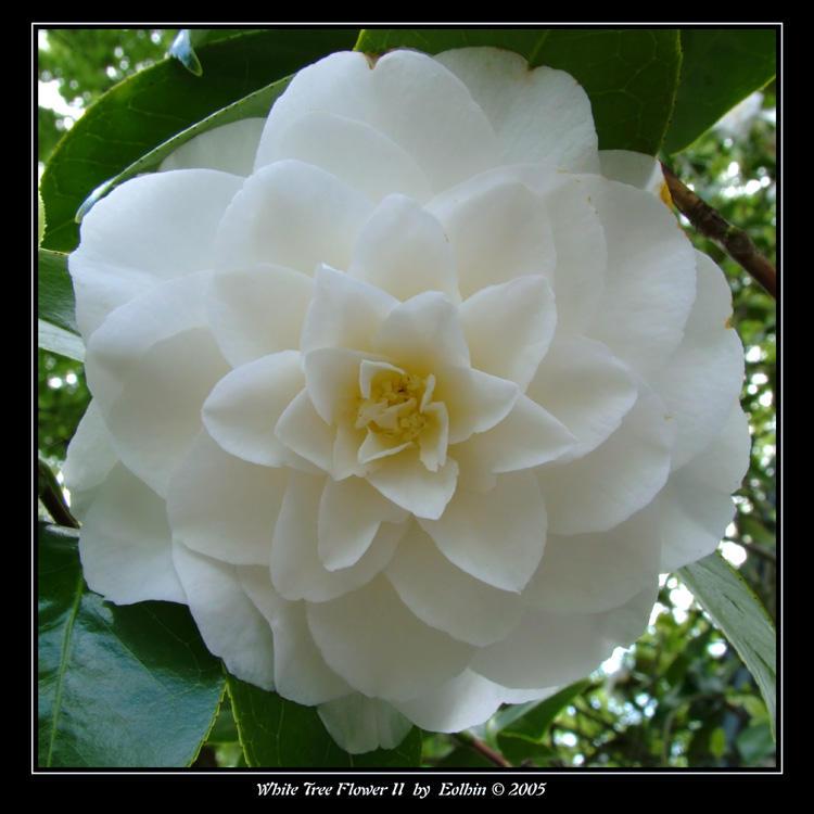 White Tree Flower II 2083 by Eolhin