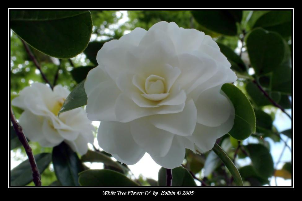 White Tree Flower IV 2085 by Eolhin