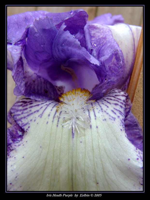 Iris Mouth Purple 2377 by Eolhin