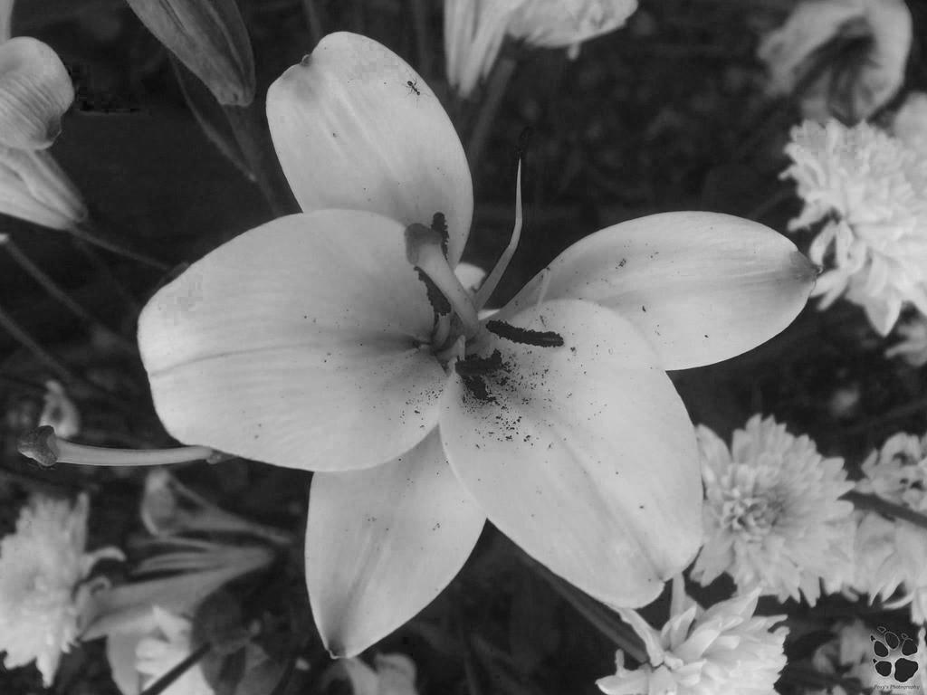 PN 77 - The Beauty Of Black and White by LacedShadowDiamond