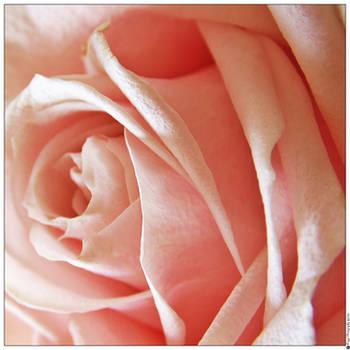Pink Rose 001 (18.04.15) by Foxy-Poptart