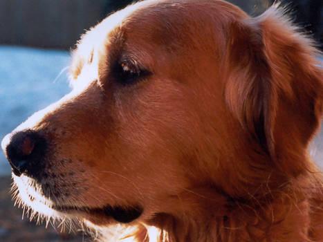 Duke the Dog