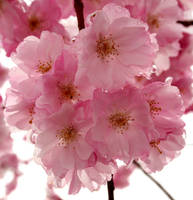 pink cherry blossom by chillipope