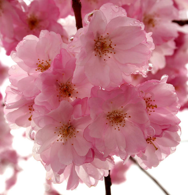 The Best Of Cherry Blossom