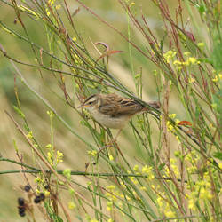 sedge warbler maybe by chillipope