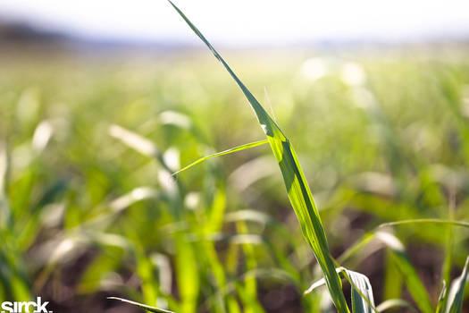 Cane Fields
