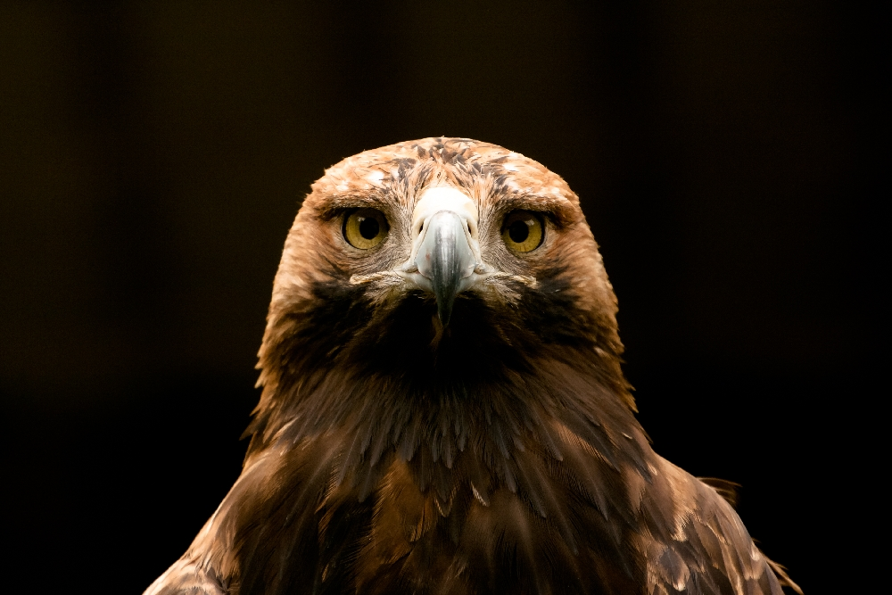 Great imperial eagle by akadime
