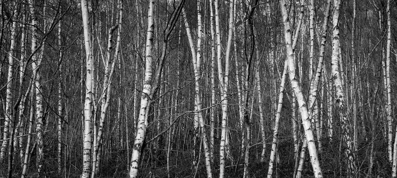 Birch by Captain-Marmote