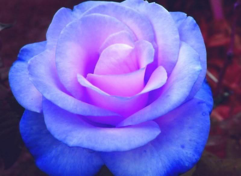 Blue rose by morris madysen on deviantart blue rose by morris madysen mightylinksfo Choice Image