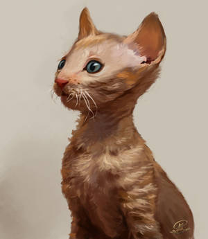 Cornish Rex Kitten