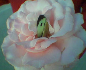 Butterfy on Rose