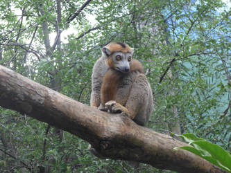 Lemur by astateofconfusion