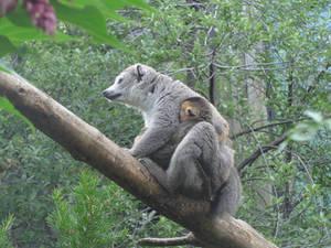 Lemur Mum with Baby