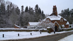 Firs in Winter 15