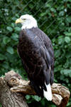 Seeadler - Bald Eagle