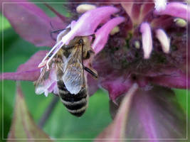 Bee-ing around by Pattarchus
